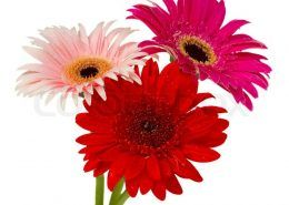 9327886-posy-of-gerbera-flowers
