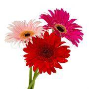 Drei Blumen in Rot- und Rosatönen